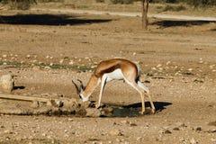 springbok Stockfotografie