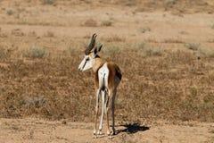 springbok Lizenzfreie Stockbilder