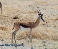 springbok Images stock