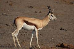 Springbok. (Antidorcas marsupialis) in the Etosha National Park, Namibia stock images