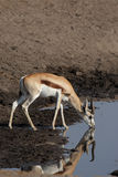 Springbok Royalty Free Stock Image