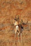 Springbok. (Antidorcas marsupialis) in the Kalahari desert, Namibia royalty free stock image