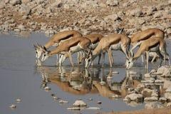 Springbok Stock Foto