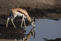 Springbok Stock Photo