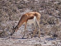 springbok Fotografia Stock