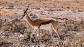springbok Immagine Stock