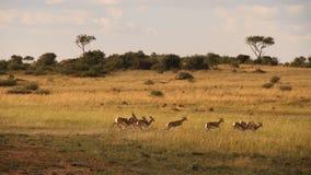 springbok Royaltyfria Bilder