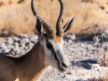 springbok Immagini Stock