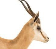 springbok Royaltyfri Fotografi