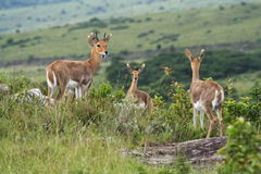 Springbok. Keeping watch royalty free stock images