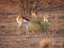 springbok Fotografie Stock