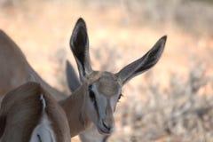 springbok Imagens de Stock