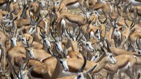 Springbok in abundance. A herd of springbok at a waterhold in Etosha National Park, Namibia royalty free stock photos
