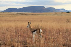 Springbok in africa Royalty Free Stock Photos