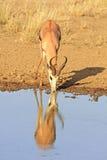 Springbok africain sauvage Photo stock