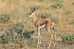 Springbok - African Wildlife Background - Baby Animal. A very young Springbok lamb poses, as seen in the wilds of Namibia, southwestern Africa Stock Photo