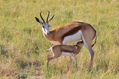 Springbok - African Wildlife Background - Mom and her Baby Animal. A very young Springbok lamb suckles from its mother ewe, as seen in the wilds of Namibia stock image