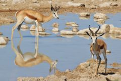 Springbok - African Wildlife Background - Reflection of Color and Peace. A pair of Springbok antelope pose at a watering hole, as seen in the wilds of Namibia stock photography