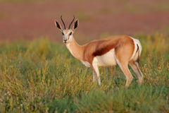Springbok antelope stock photography