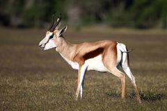 Springbok Antelope. Male springbok antelope standing on the open grassland Stock Photos