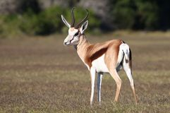 Springbok Antelope. Male springbok antelope standing on the open grassland Stock Photography