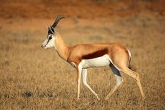 Springbok antelope Royalty Free Stock Photos