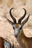 Springbok Antelope in Africa Royalty Free Stock Images