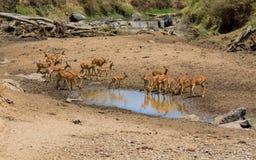 Springbok antelope in Africa savannah drink water from lake. Springbok wild antelope deer with horn in Africa savannah nature. Safari game wild nature national royalty free stock photos
