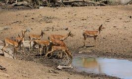 Springbok antelope in Africa savannah wild nature near water source. Springbok wild antelope deer with horn in Africa savannah nature. Safari game wild nature Royalty Free Stock Image