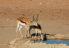 Springbok antelope (Antidorcas marsupialis) Royalty Free Stock Photo