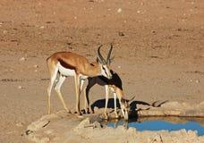 Springbok antelope (Antidorcas marsupialis) Royalty Free Stock Photo