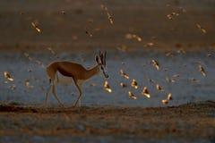 Springbok antelope, Antidorcas marsupialis, in the African dry habitat, Etocha NP, Namibia. Mammal from Africa. Springbok in. Evening back light. Sunset on royalty free stock photo