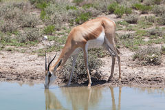 Springbok antelope (Antidorcas marsupialis), close-up, drinking Stock Photos