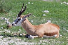 Springbok antelope (Antidorcas marsupialis) Royalty Free Stock Image