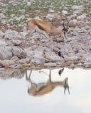 Springbok antelope (Antidorcas marsupialis) Royalty Free Stock Images