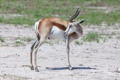Springbok antelope (Antidorcas marsupialis) Royalty Free Stock Photography