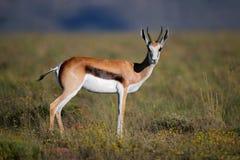 Springbok antelope Royalty Free Stock Photos
