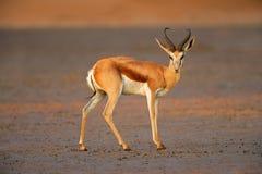 Springbok antelope Stock Images