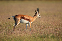Springbok antelope Royalty Free Stock Images