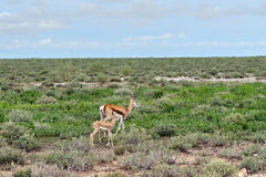Springbok antelope with baby Stock Photos
