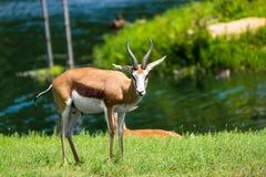 Springbok Antelope Royalty Free Stock Images