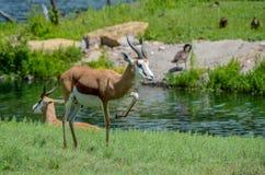 Springbok Antelope Stock Photo