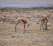 Juvenile Springbok Stock Photos