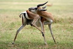 Springbok antelope grooming. A male springbok antelope from Africa grooming itself Stock Images