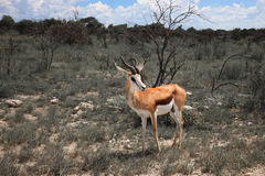 Springbok antelope hears sounds between the bushes.     in the E Stock Photography