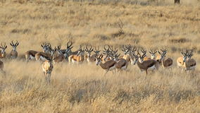 Springbok antelope herd stock video