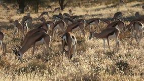 Springbok antelope herd stock video