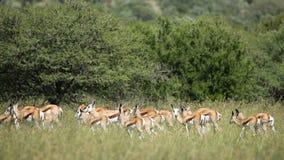 Springbok antelope herd stock footage