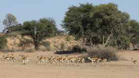 Springbok antelope herd - Kalahari desert stock video footage
