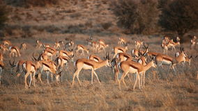 Springbok antelope herd stock video footage
